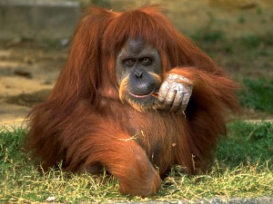 orangutan_img01-l